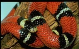 Коралова змия